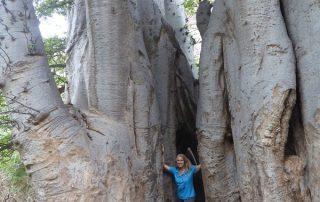 Baobab im Tal der Ribeira Grande, Kapverdische Inseln