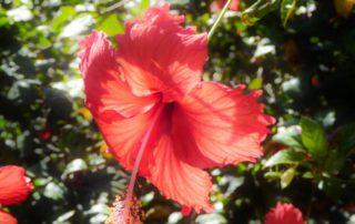 Hibiskusblüte auf den Capverden