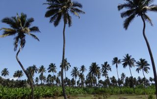 Kokospalmen auf Santiago Kapverdische Inseln