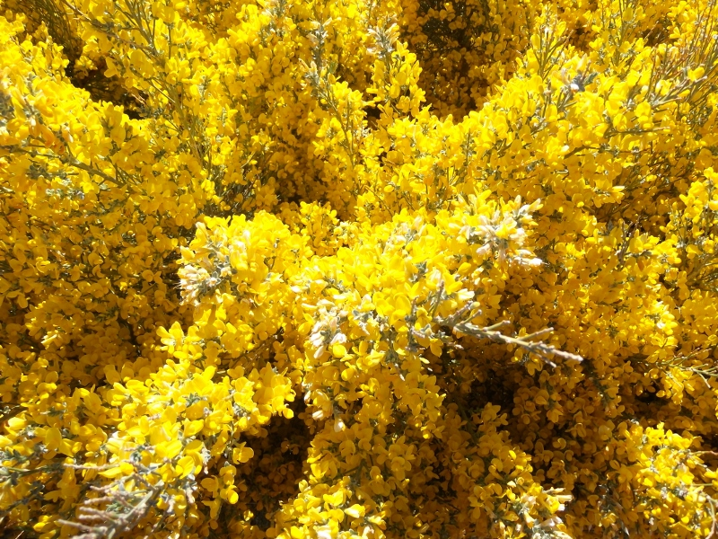 Naturreservat La Palma - endemischer Codeso in voller Blüte