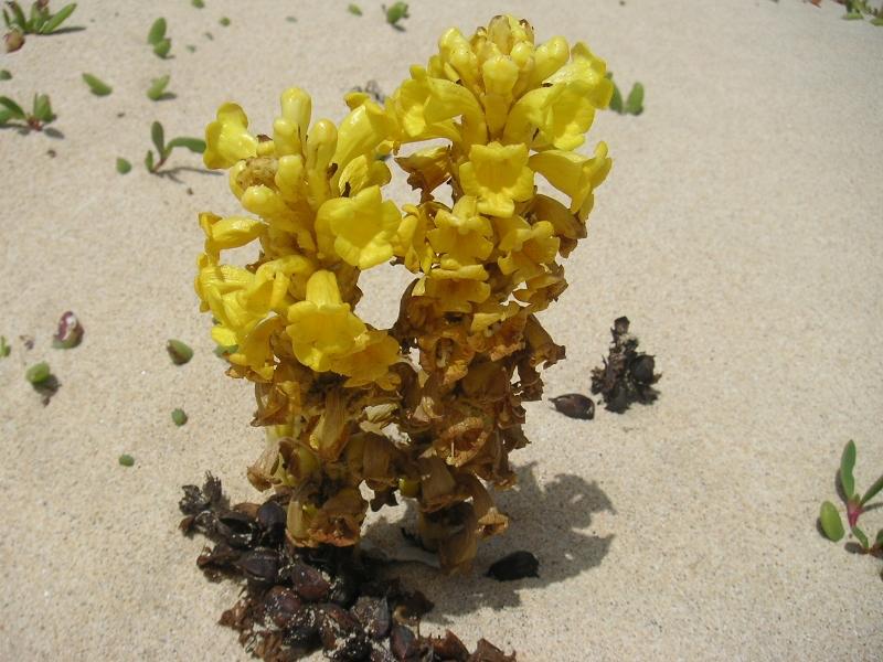 Wüstenblume auf den Kapverden