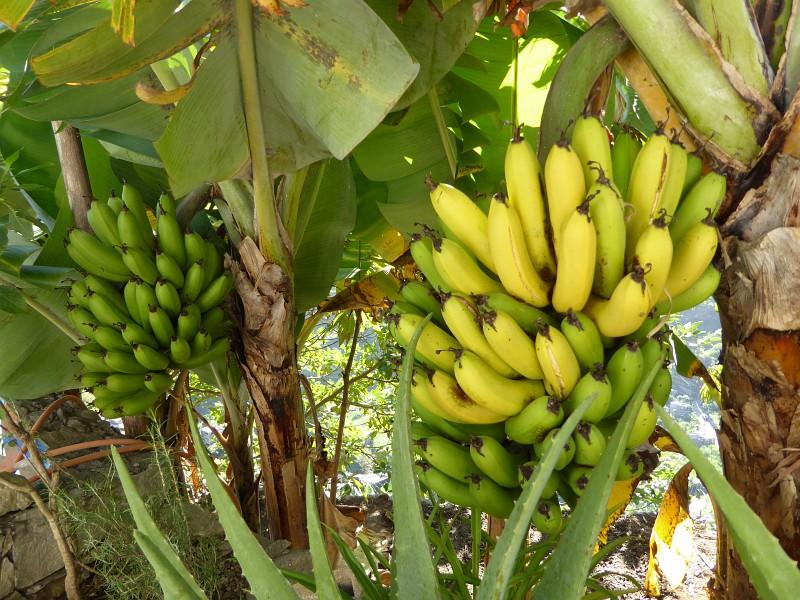 Bananen direkt vom Baum im Paul-Tal auf Santo Antao